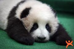 Gizli Pandayı Bul!