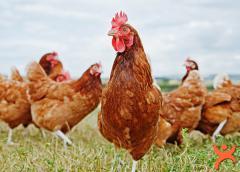 Çok Önemli Tavuk Uyarısı!
